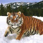 Тигр в Казахстане
