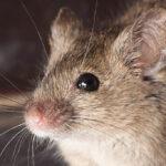 Мыши в Казахстане