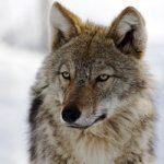 Волки в Казахстане
