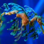 Морской конёк-тряпичник или Тряпичник