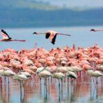 Розовое фламинго в Казахстане